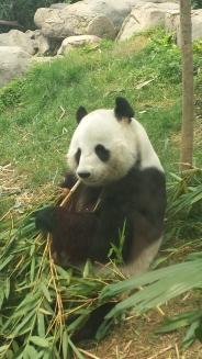 First time seeing pandas!