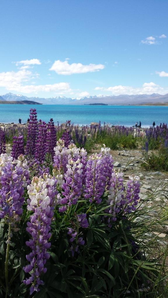 New Zealand's beautiful wild flower that we spotted growing everywhere