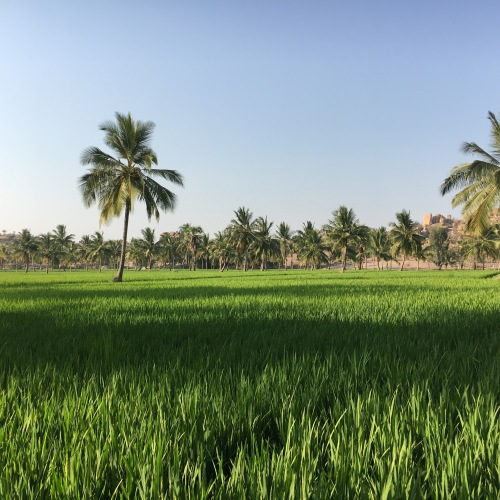 Beautiful rice paddy fields on Hippie Island